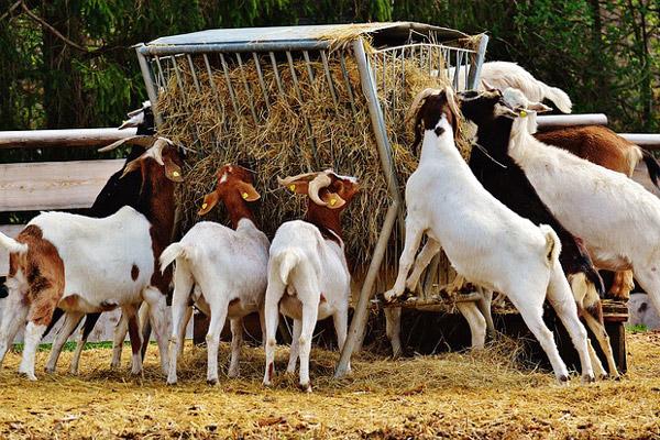 Les différences entre un fromage de chèvre fermier, artisanal et laitier